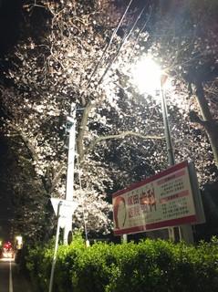平成最後の桜_190406_0006.jpg